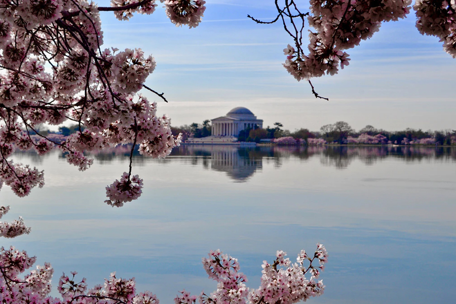 Washington DC becomes a wonderland of cherry blossoms in Spring